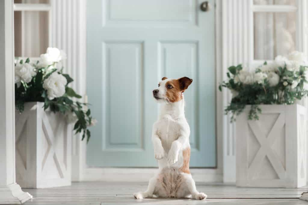Jack Russell alleen thuis laten